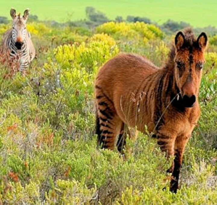 1000+ Images About Zorse: Horse X Zebra On Pinterest