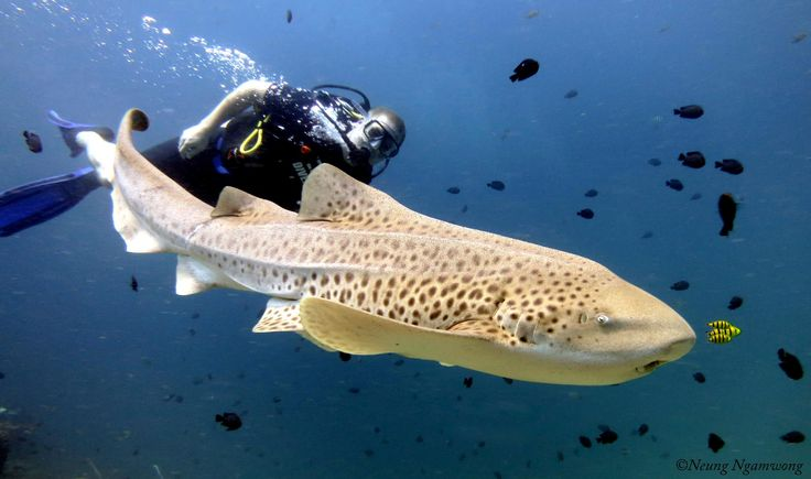 Leopard shark, Phuket, Thailand                                                                                                                                                                                 Mehr