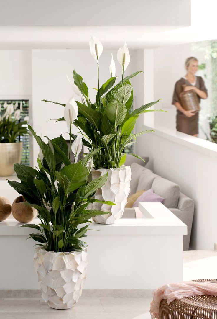 Le Spathiphyllum s'adapte très bien au milieu humide et chaud de la salle de bains, pourvu qu'il y ait de la lumière. #deco