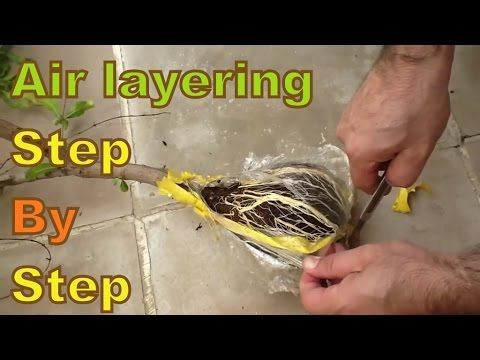 Air Layering: How to Propagate Plants With This Unique Method