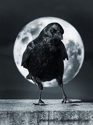 I love crows and ravens, and love even more that they choose to live around our home. :)