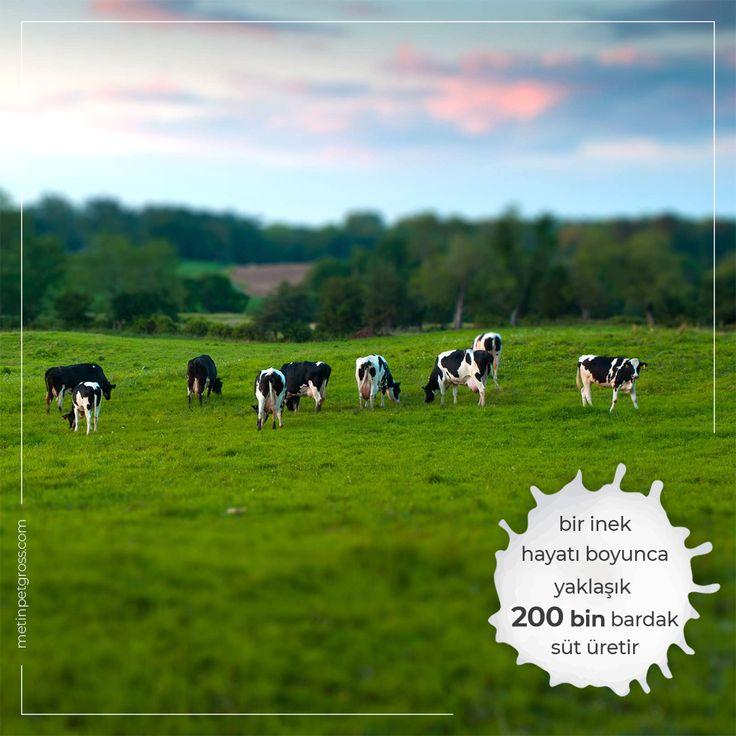Bir inek hayatı boyunca yaklaşık olarak 200 bin bardak süt üretmektedir.    #inek #cow #animallover #animal #instagood #hayvansevgisi #instalike #prilaga #Turkey #ilginçbilgiler #doğa #nature