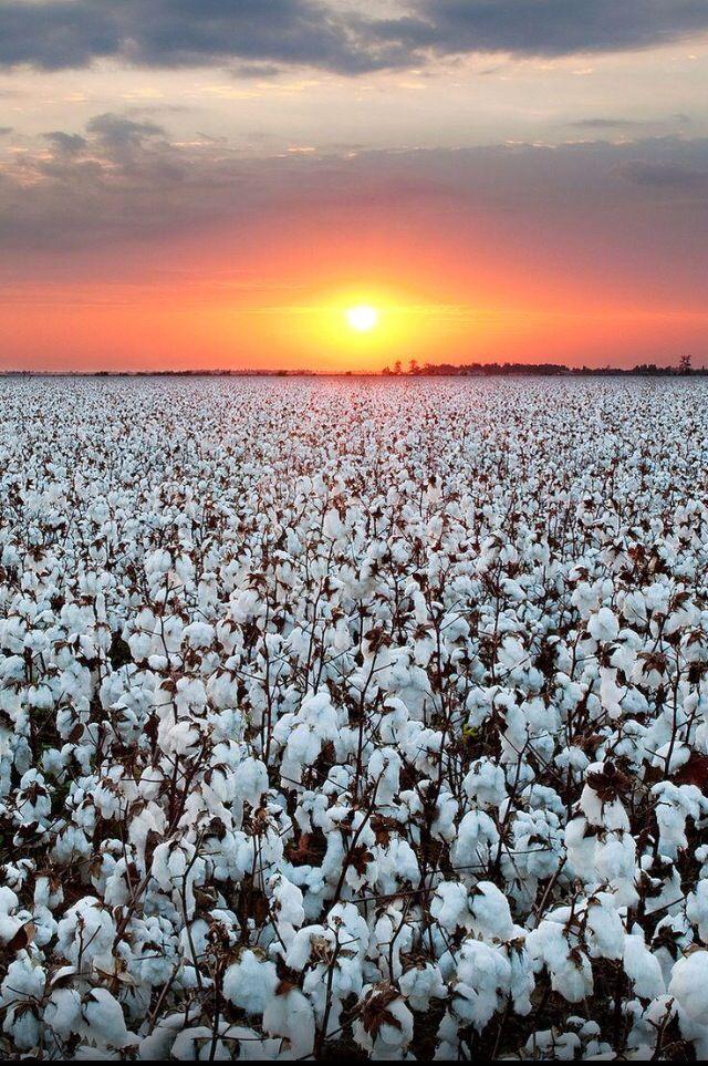 Cotton field, Kennett, Missouri