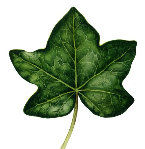 Botanical illustration of ivy leaf by Lizzie Harper