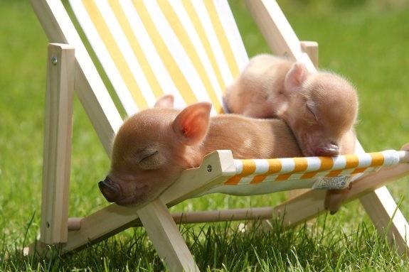 .: Micropig, Piglets, Mini Pigs, Micro Pigs, Pet, Cutest Baby Animals, Teacup Pigs, Piggy, Sun