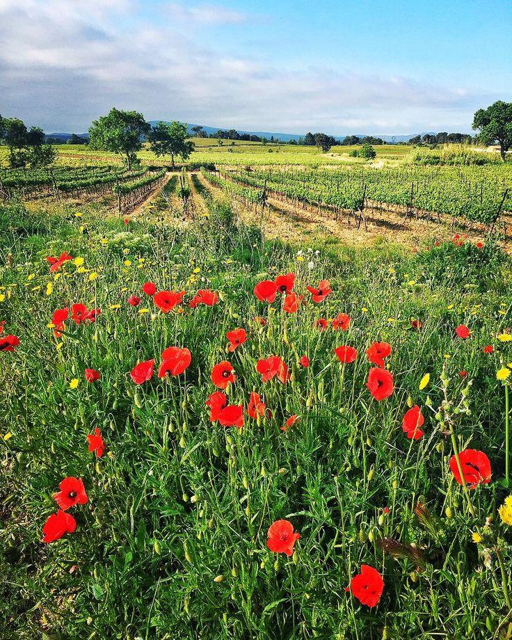 Bon lundi à tous ! #minervois #audetourisme #vignes #suddefrance #occitanie #wine #paysages #coquelicot #flowers #fleurs
