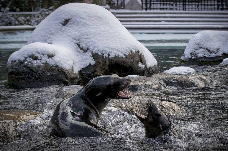 Морские львы резвятся в бассейне в Центральном зоопарке Нью-Йорка после утреннего снегопада.