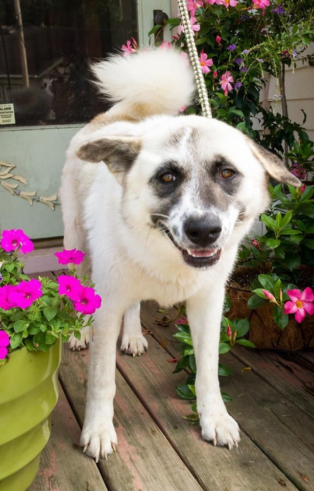 Piper is a male Great Pyrenees mix who loves everything & everybody. People, dogs, & even cats. He also promises to take out the trash, empty the dishwasher, & keep the car clean. He is a real keeper. Available at Big Fluffy Dog  Rescue, Enfield, CT.