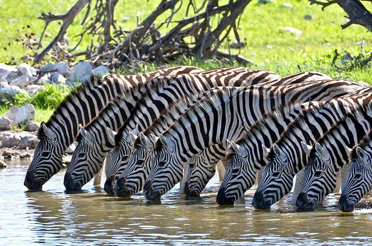 A grande quantidade de animais durante os safáris é um dos principais diferenciais de #Botswana