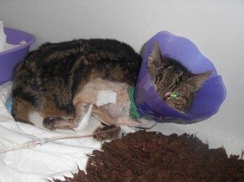 LADY (Association Chiens Chats et Compagnie) minette accidentée (fracture du cubitus et du radius)