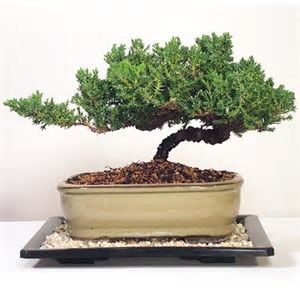Image result for Types Of Bonsai Trees Juniper