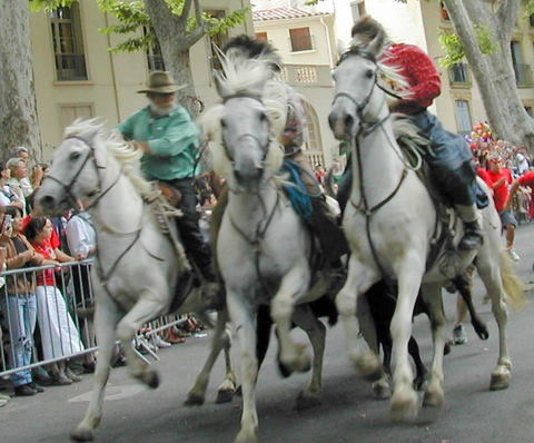 Running of the bulls Ceret Style - the young bulls are guided through town by horses with the macho men of Ceret following at a distance - not quite Pamplona but safer at least!