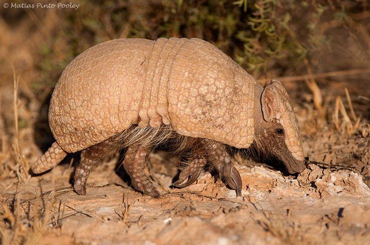 Mulita o Quirquincho. Es un animal que se lo puede encontrar en todo nuestro territorio nacional