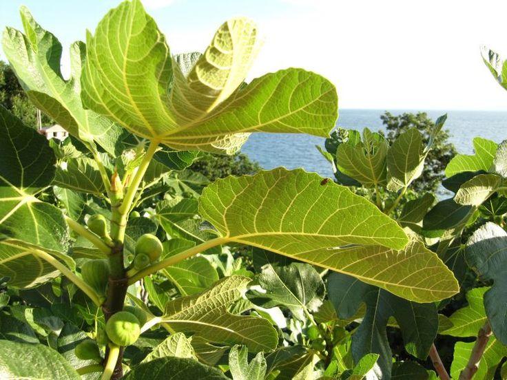 Ficus carica (higuera)   Cultivo, fruto, higos, brevas, hojas   Planta, árbol