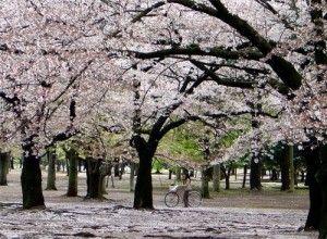 gambar pemandangan bunga sakura - foto pemandangan bunga sakura - foto pemandangan jepang yang indah