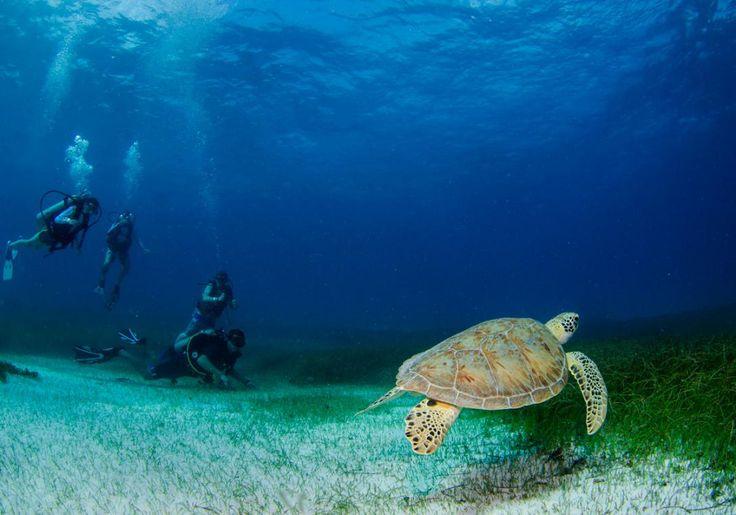 I Playa Tamarindo i Costa Rica kan du dykke sammen med 400 kg. tunge havskildpadder, der glider igennem vandet, som om de intet vejer.