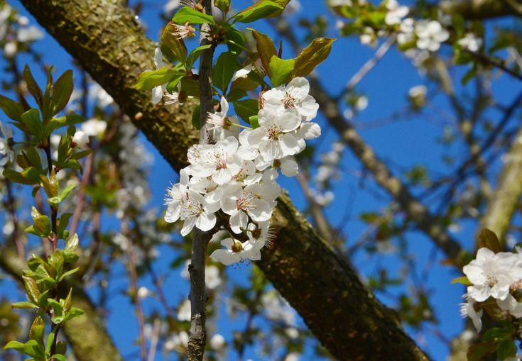 11. April 2018 - Die ersten Bäume blühen. Sie möchten Früchte tragen,