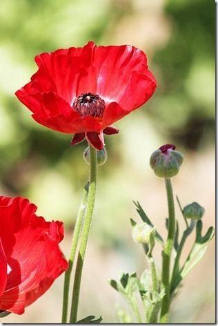 Poppies                                                                                                                                                                                 Mais
