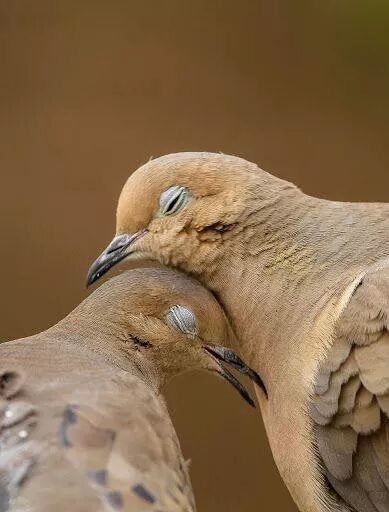 mourning doves, so beautiful
