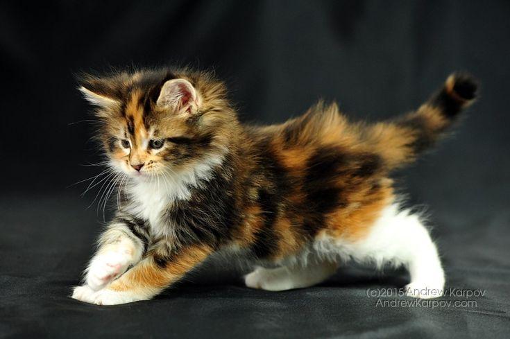 Képek a meghökkentő Maine Coon kiscicák. Elegancia. Tricolor cica