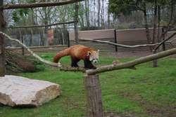 Arrivée des Pandas Roux au zoo de Cerza .. Ils sont magnifiques et découvre leur nouveau territoire .. à découvrir lors de vos vacances ou WE  au Domaine du Martinaa et ses Gites  ...  Bises du Martinaa  ... Kiss From Martinaa...  Valérie  ... www.martinaa.fr ... 02 31 32 24 80 ... mail@martinaa.fr