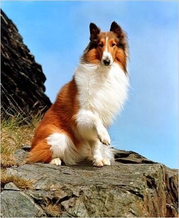 Lassie. I had a dog named Lassie growing up. Looked just like this one. She was such an amazing dog.