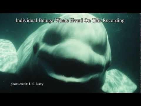 """Uma baleia beluga treinada da Marinha dos EUA, de nome NOC, pode imitar a fala humana. As Belugas selvagens têm sido informalmente chamadas de """"canários do mar""""."""