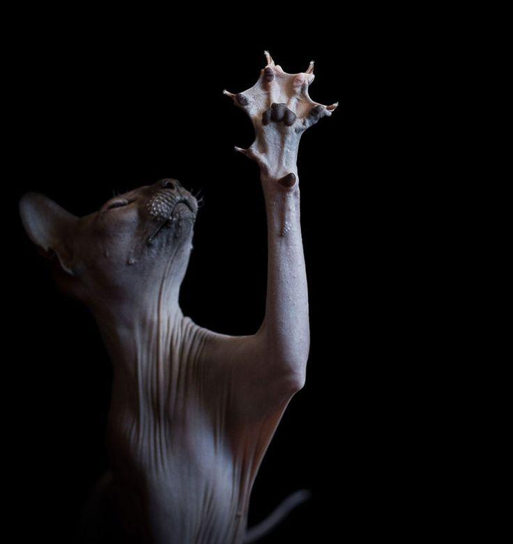 """Alicia Rius photographie dans sa série """"Sphynxes"""" des chats sans poil"""