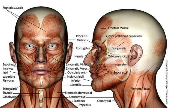 Anatomy Of Human Face And Neck Muscles Digital Art Manual Guide