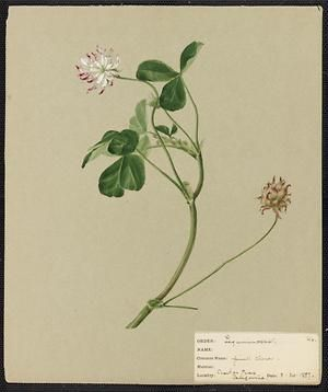 From the collection at Andersen Horticultural Library. Agnes Williams (1860-1946), a watercolorist from Bucks Co., PA, created a wildflower portfolio during the 1880s and 1890s. Emma painted Pink Clover in Casitas Pass, CA. It is dated March 30, 1889.