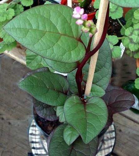 100 Nutritious Ornamental Edible Climbing Malabar Spinach