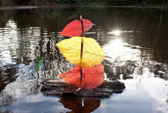 Autumn ~ Leaf ~ Bark ~ Sail Boat