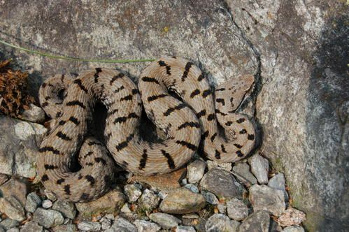 La vipera comune o di redi (Vipera aspis francisciredi) - Serpenti del Ticino