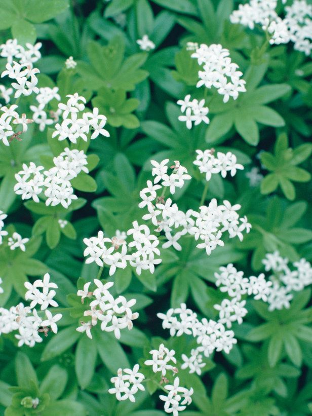 Sweet Woodruff. Easy to grow. Good ground cover in light shade areas, but may be Invasive. Flowers April - July