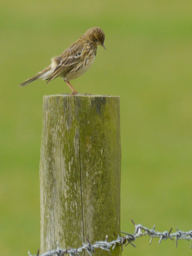 jump for joy2010 posted a photo:  The Meadow Pipit is a familiar and often abundant bird throughout the year, although most of our breeding birds head south to winter in France and Iberia, with some reaching North Africa. The first returning migrants appear in February and peak passage is from mid-March to mid-April.