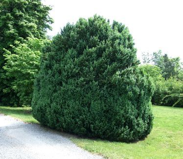 Buxus semperviens - hardy in zone 5, is the tallest and trimmings useful for holiday decor