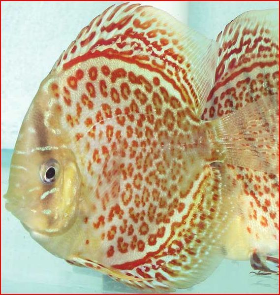 1000 images about discus tank mates on pinterest for Discus fish for sale near me