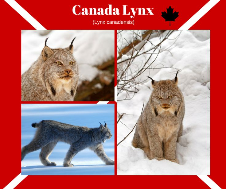 The Canada Lynx are lone hunters and can be found throughout north america. This mid size carnivore has tufts of hair on their ears which enhance their hearing so they can hear a mouse 250 ft. away. Under the endangered species act this animal is listed as threatened.