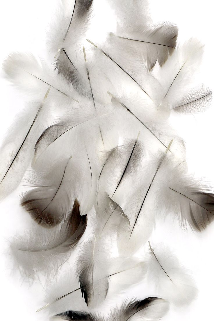 canada goose feathers (mary jo hoffman)