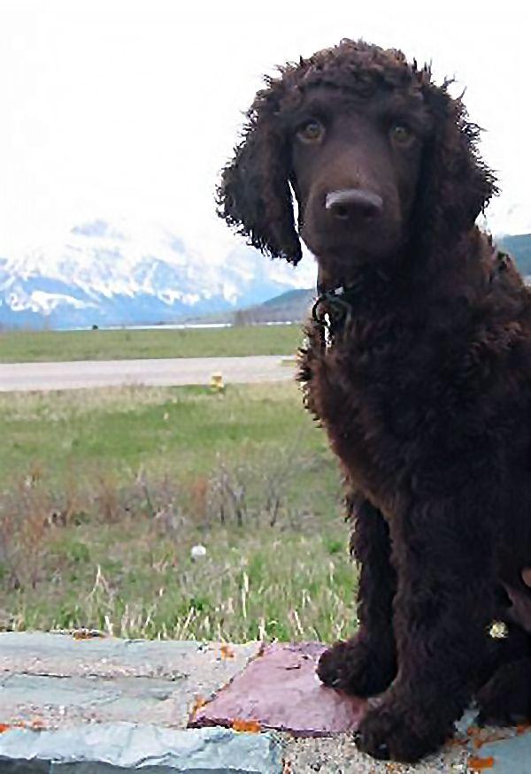 Sirius Ch Dreadlocks Padfootin Rags Missed By Lynn Musgrave Irish Water Spaniel Iwsca Irish Water Spaniel Doggy Spaniel