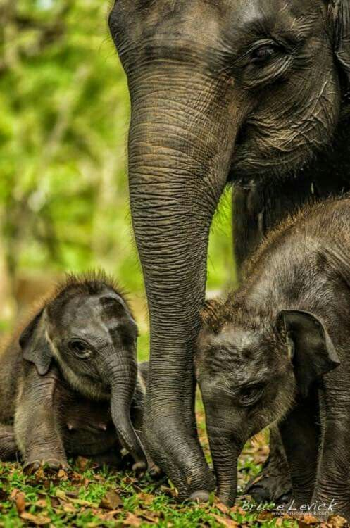 1000 Images About Elephants Gentle Giants On Pinterest