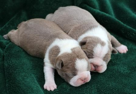 Blue Boston Terriers , Lilac Boston Terriers