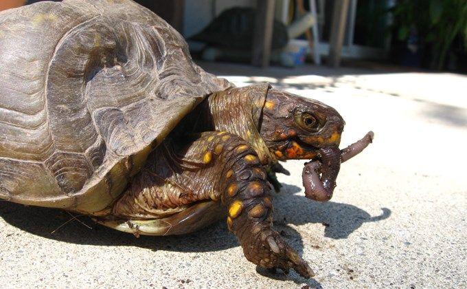 ミツユビハコガメの飼育方法 ベビーは甲羅が変形しないように乾燥に注意しよう Woriver 亀の赤ちゃん 珍しいペット カメ
