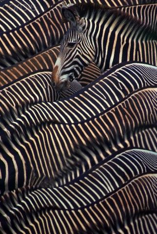 Zebra herd   ♥ ♥ www.paintingyouwithwords.com