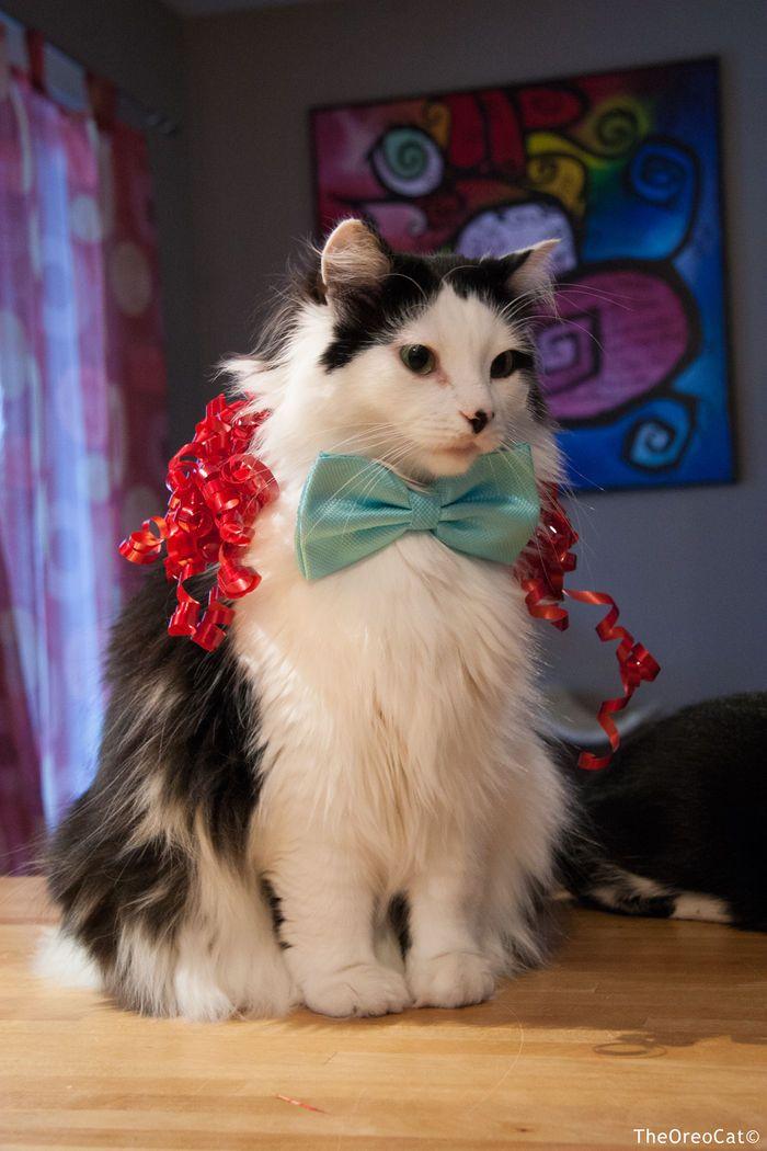 32 best Oreo Cat images on Pinterest | Cat cat, Cat and Cats