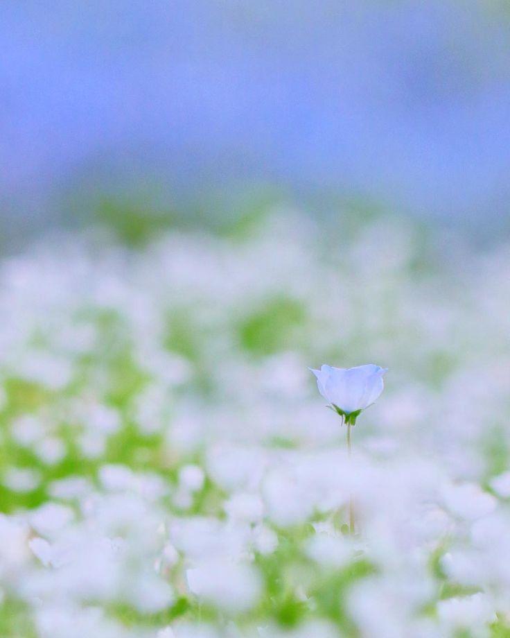 ....はぐれブルー。....5/7撮影。 . こんばんは(^_^)/ 明日は晴れて気温も上がるらしい! ちと、気分が上がらない日々を 過ごしているので 気晴らしに出かけるか! 、、、、、 駄菓子菓子、 くたぁ〜っと過ごしそうな予感(´-`) . . 埼玉県さいたま市 花の丘農林公苑 #ネモフィラ #花 #instagramjapan  #icu_japan #ig_japan  #tokyocameraclub  #japan_daytime_view #ptk_japan #wu_japan  #bestjapanpics #igersjp  #Canon #キヤノン #キャノン #eos80d #eos #80d #タムロン #タムキュー #9vaga9 #nature_special_  #whim_fluffy #petal_perfection #はなまっぷ #flowerslovers  #wp_flower #team_jp_flower  #splendid_flowers #7flowers_1day #macro_perfection…