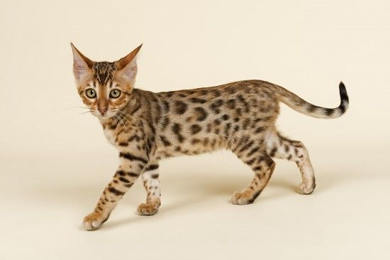 The five most expensive cat breeds in the world Ashera