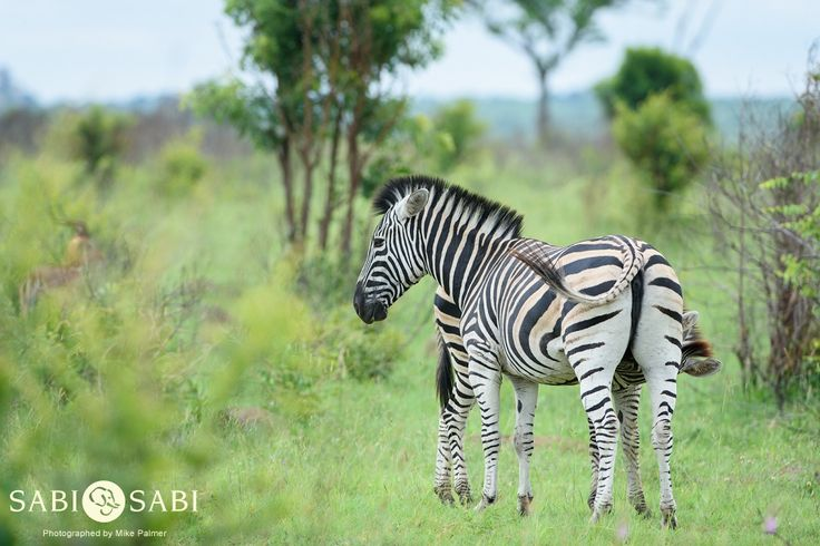 A tender moment as a zebra foal attempts to suckle from its mother.