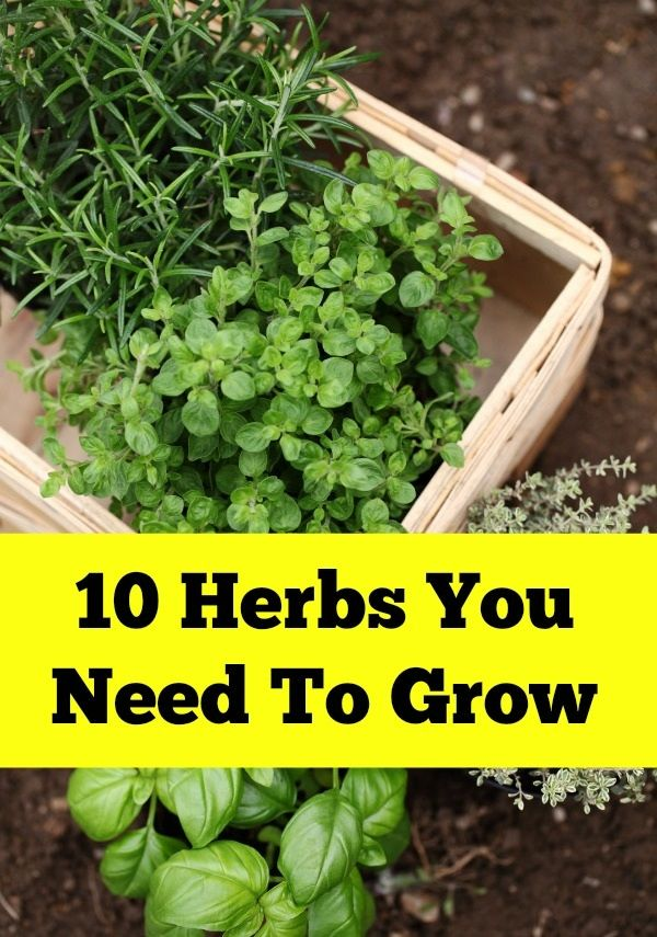 10 HERBS YOU NEED TO GROW  Growing herbs at home is a fun, money-saving hobby that also happens to be good for your health. In addition to flavoring up your favorite dishes, herbs are filled with antioxidants and essential nutrients. Studies show that half of the nutritional value of plants is lost within thirty minutes of harvesting. When you grow your own herbs you can use what you need at the moment by harvesting small amounts, fresh from the plant.