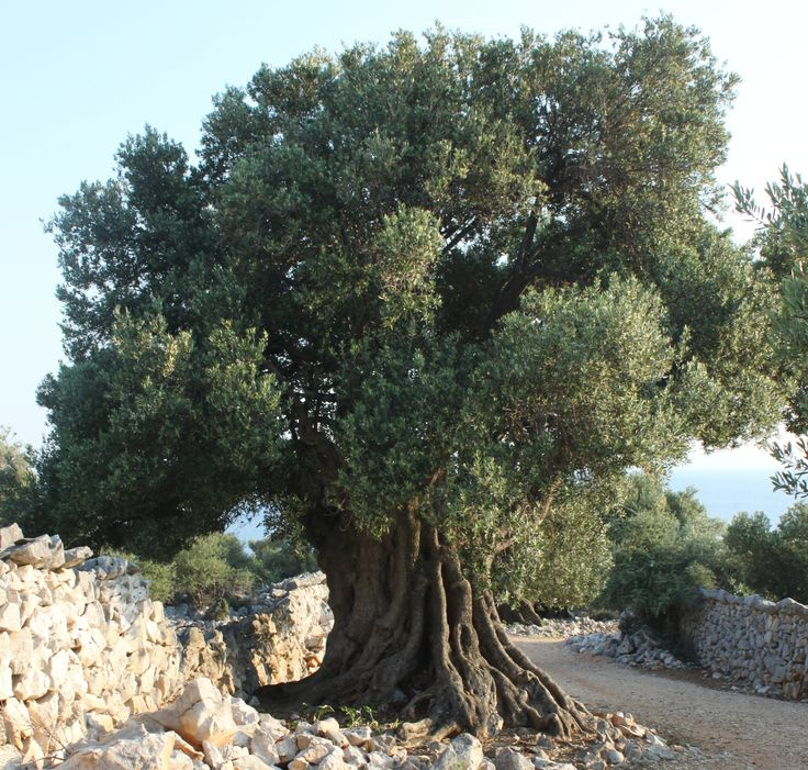 olivetrees - Google Search